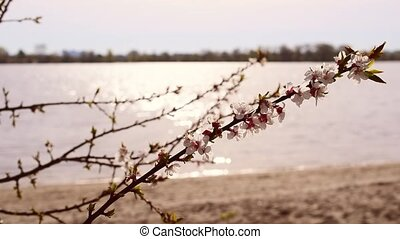 Blooming apricot tree branch on background of shimmering...