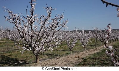 Beautiful blooming apricot trees in spring garden