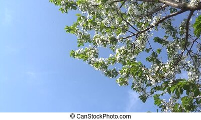 blooming April cherry blossom against the blue sky. 4K -...