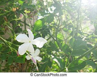 Blooming Arabian jasmine, Jasminum sambac, and light.