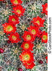 Blooming barrel cactus with red blooms - Rows of many bright...