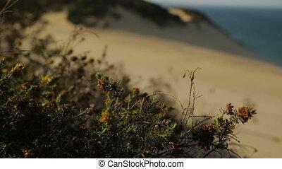 Blooming Beach Flowers, Qld Island, Australia