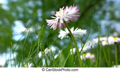 Blooming beautiful chamomiles daisies flower. White-pink.