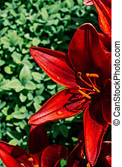 Blooming beautiful lily flowers in close up view