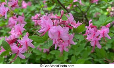 Blooming beautiful pink rhododendrons in the garden.