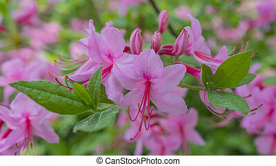 Blooming beautiful pink rhododendrons in the garden. Macro.