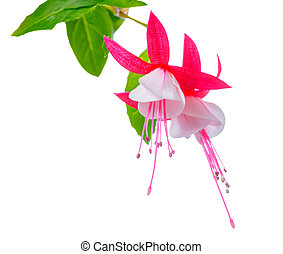 blooming beautiful red and white fuchsia flower is isolated on white background, `Shadow Dancer Betty`, closeup