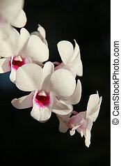Blooming beautiful white orchid, phalaenopsis on a black background