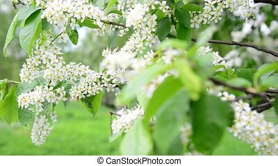 blooming bird cherry in  spring in  wind
