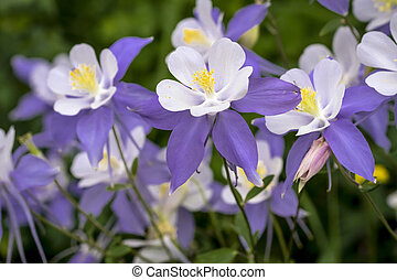 Blue Columbine wildflower blooms in mountain Aspen forest in early morning light