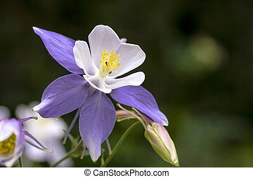 Close up blue Columbine wildflower blooms in mountain Aspen forest in early morning light