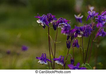 Blooming Blue Columbine Wildflower in the garden soft focus