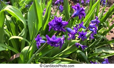 blooming blue hyacinth in the garden on a summer sunny...