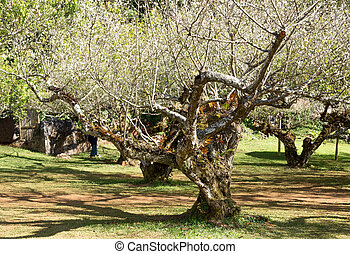 Blooming branch of apricot tree