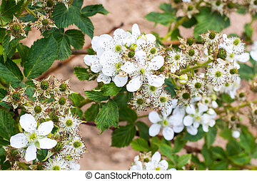Blooming branch of blackberry