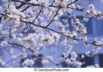 Blooming branch of cherry in spring on blue background