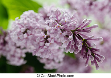 blooming branch of lilac
