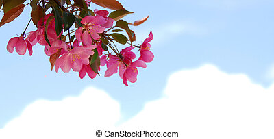 Blooming branch of an apple tree isolated on white...