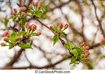 Blooming branches of an apple tree in spring. Pink buds of undiscovered apple blossoms. Close-up.
