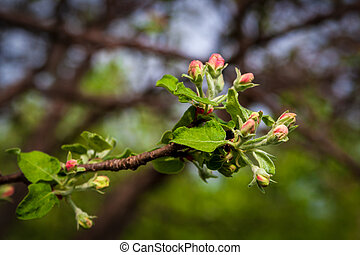 Pink buds of undiscovered apple blossoms. Close-up.