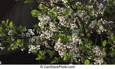 blooming branches of apple tree close up.
