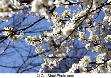 Blooming branches of apricot on background of blue sky