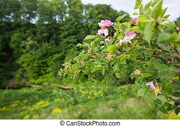 Blooming briar flowers - Blooming wild briar flowers of...