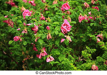 blooming bush of a wild rose in the summer garden