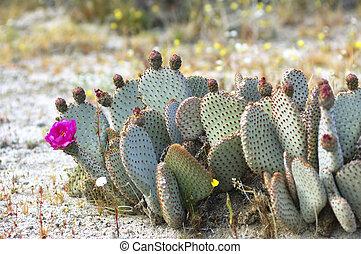Blooming Cactus in Anza Borrego Desert, California