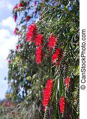 blooming Callistemon viminalis (Weeping Bottlebrush) in ...