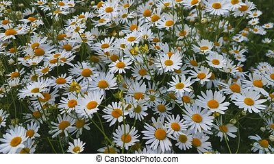 Blooming camomiles at the summer field - Blooming camomiles...