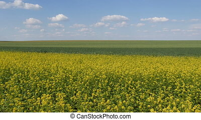Blooming canola and green wheat field in spring -...
