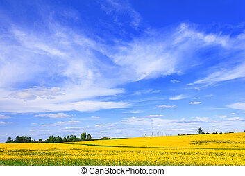 Blooming canola field and skyscape