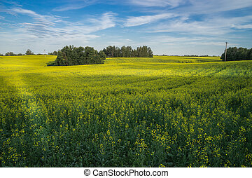 Canola field in Alberta