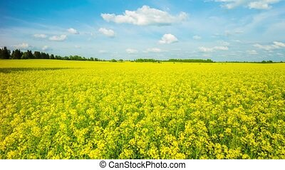 blooming canola on the field, panorama
