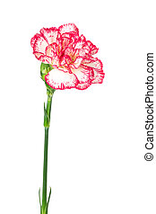 Blooming carnation isolated on white