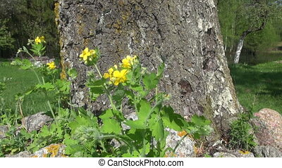 blooming celandine medical herb
