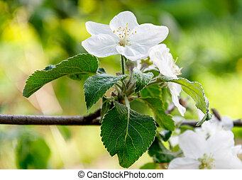 blooming century fruit tree