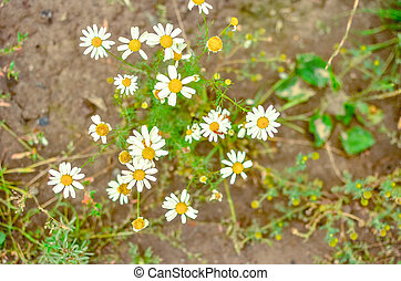Blooming chamomile field, Chamomile flowers on a meadow in summer