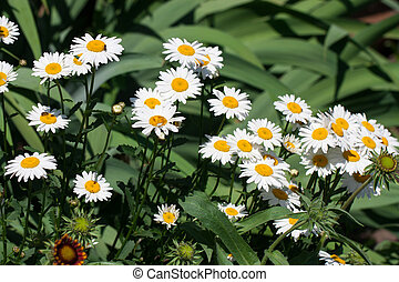 Blooming Chamomile flowers on a meadow in summer. Background
