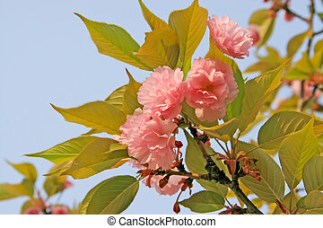 blooming cherry blossoms in a garden