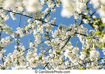 Blooming cherry on sky background. Cherry blossom tree under clear blue sky in spring
