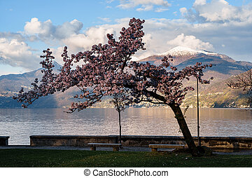 Blooming cherry on the background of a snow-capped mountain.