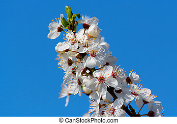 Blooming cherry plum tree in spring