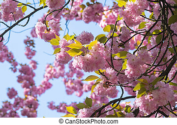 Blooming cherry tree against a cloudy blue sky
