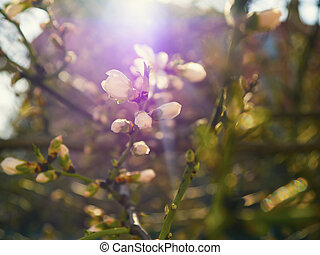 Blooming cherry tree branch with flowers