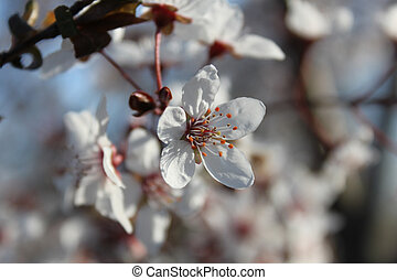 Blooming cherry tree flowers close-up on a branch. Spring beautiful background with cherry flower buds