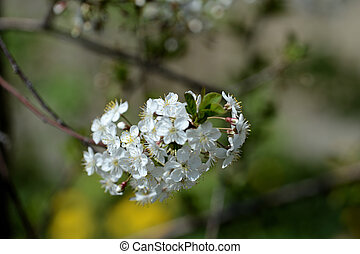 Blooming cherry tree on a sunny spring day