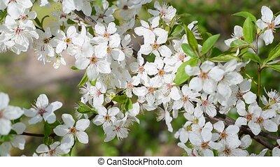 Blooming cherry tree twig. Beautiful white cherry tree...
