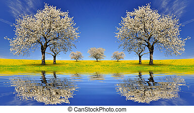 Blooming cherry trees